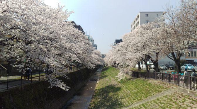 会社の裏の桜状況報告